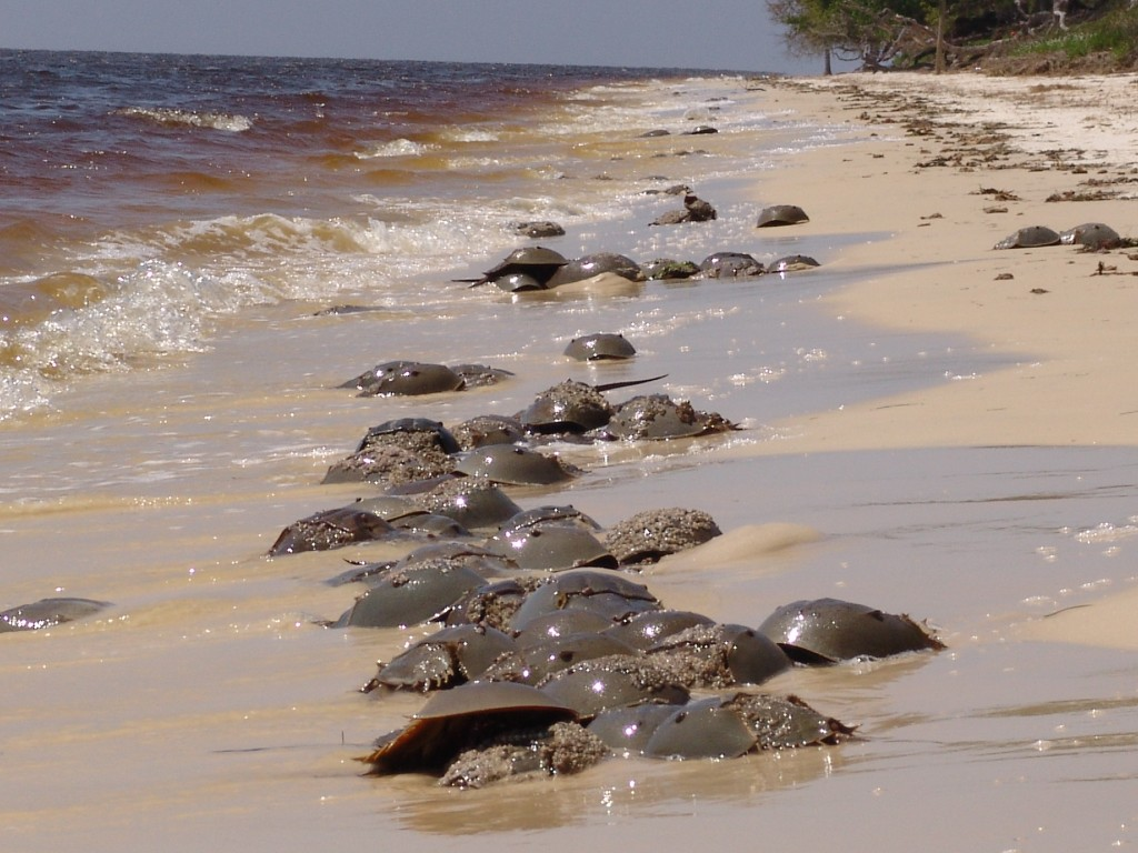 Horseshoe crabs nesting on the beach at Seahorse Key.