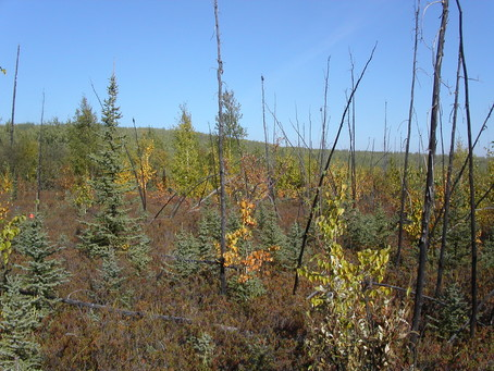 Post-fire regeneration in central Alaska.