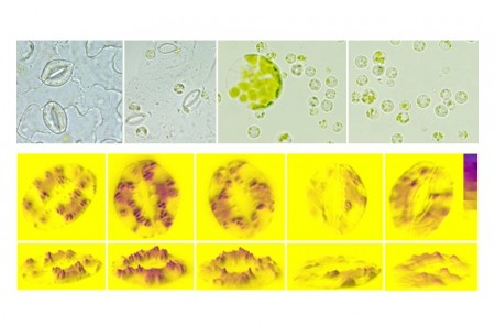 Guard cell image